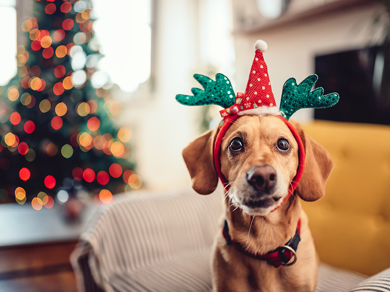 Dog with reindeer ears; read tips for holiday pet safety.