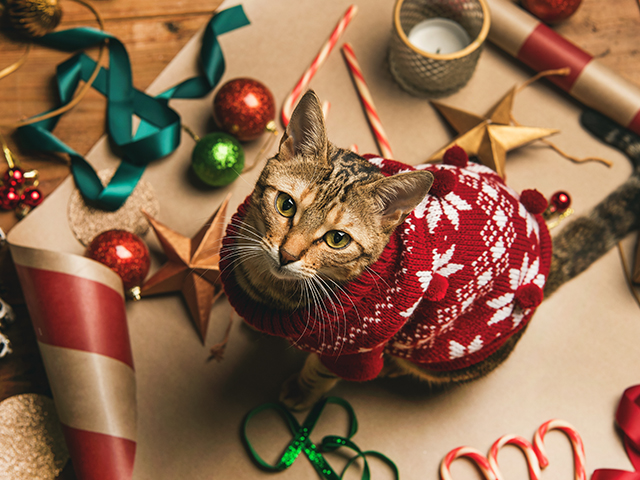 Cat wearing a holiday sweater; learn about holiday pet safety.