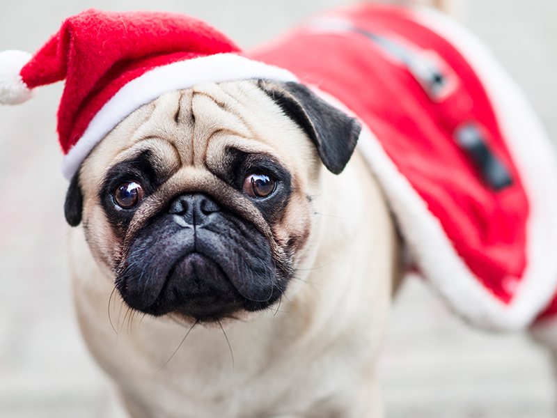 Pug wearing a Santa hat; learn about holiday pet safety.