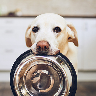 golden retriever dog holding empty dog bowl in his mouth