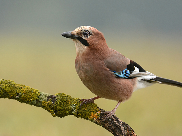 Photograph of small brown, black, and blue bird standing on a branch