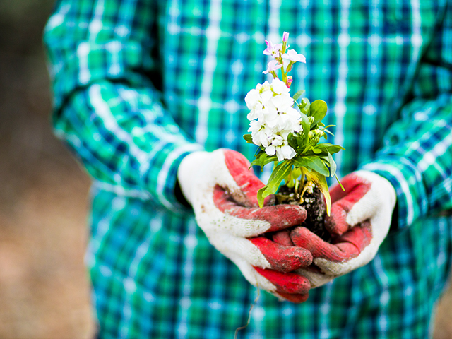 Person with bright teal checkered print long sleeved shirt wearing red and white gardening gloves and holding a white flower in soil
