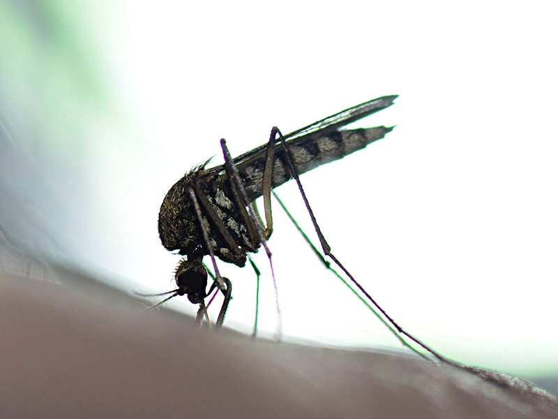 A mosquito, which may have West Nile virus, landing on a person's arm